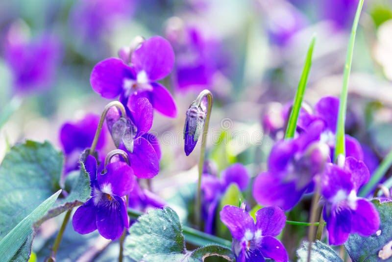 Manhã da mola das violetas das flores selvagens imagens de stock royalty free