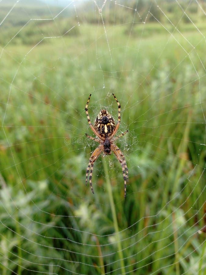 Manhã da teia de aranha da aranha imagem de stock royalty free