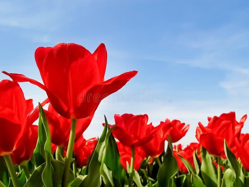 Manhã e campo bonitos de papoilas vermelhas fotos de stock