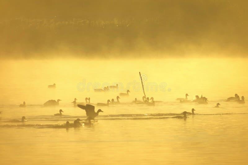 Manhã enevoada do verão pelo lago Muitos pássaros foto de stock