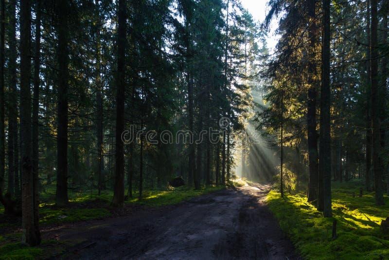 Manhã enevoada na floresta, o istmo careliano, Rússia fotografia de stock royalty free