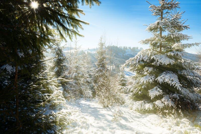 Manhã ensolarada do inverno na floresta conífera fotos de stock royalty free