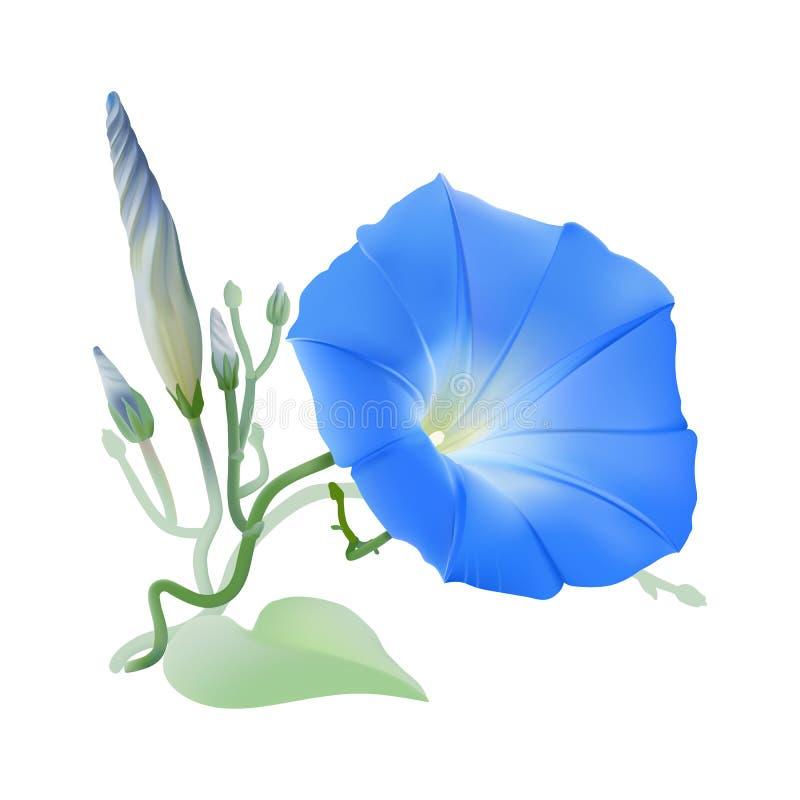 Manhã Glory Heavenly Blue ilustração do vetor