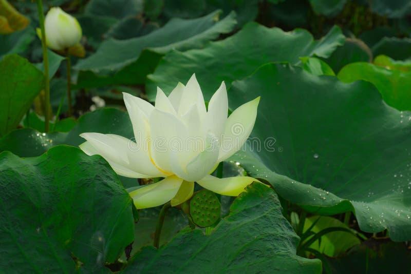 A manhã na associação dos lótus, branco sae, as grandes folhas verdes, gotas de orvalho nos lótus imagens de stock royalty free