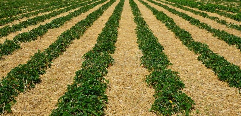 Manhã na exploração agrícola bonita da morango foto de stock royalty free