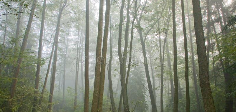 Manhã outonal enevoada e floresta natural do amieiro fotografia de stock