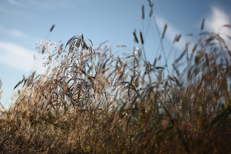 Manhã Uma grama no orvalho fotografia de stock