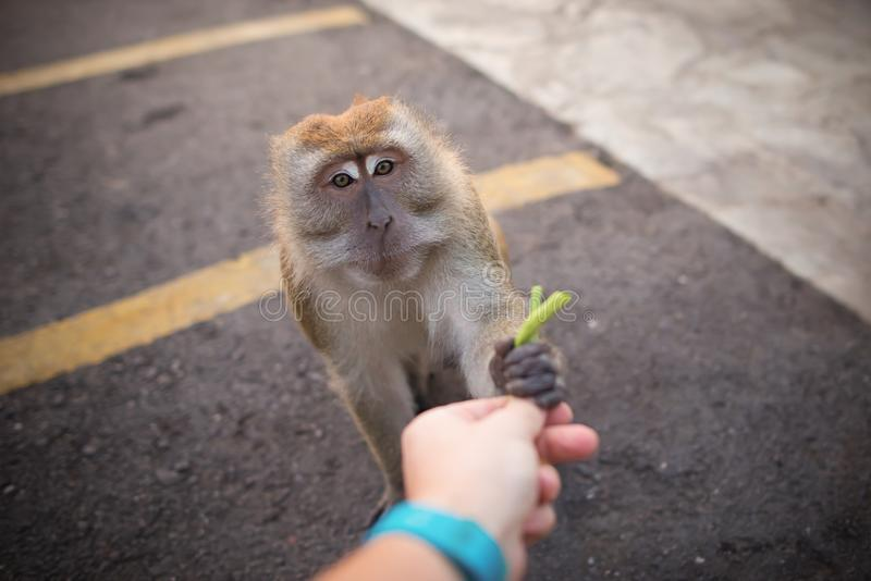Manhandmatningar en apa Kamratskap mellan människan och djuret royaltyfria bilder