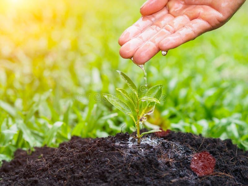 Mani che danno acqua ad un giovane albero per la piantatura sul backgro del bokeh immagini stock