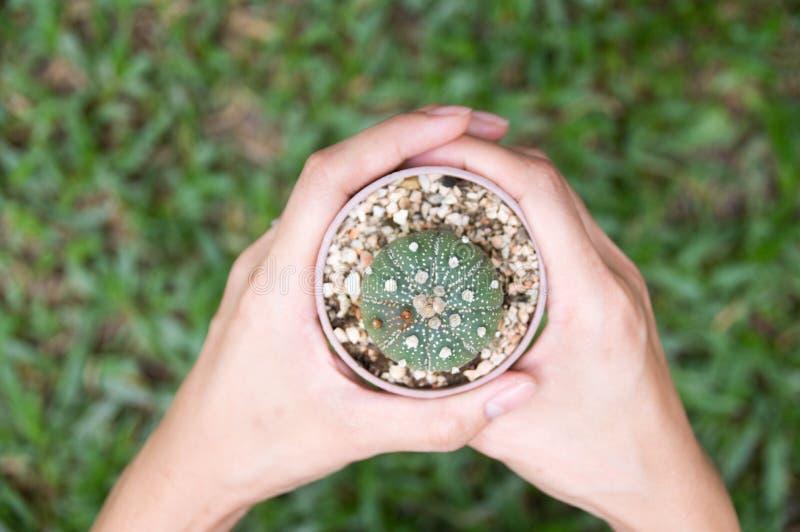 In mani che giudicano cactus piantato immagine stock