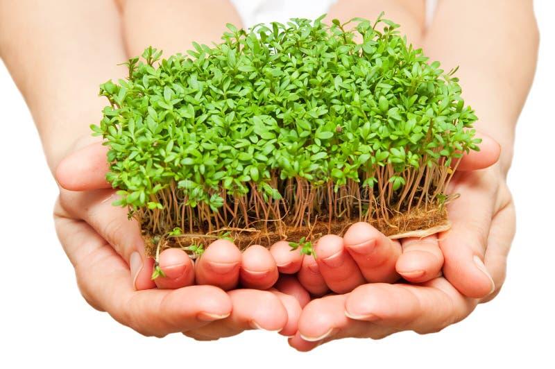 Mani che tengono erba verde fotografia stock libera da diritti