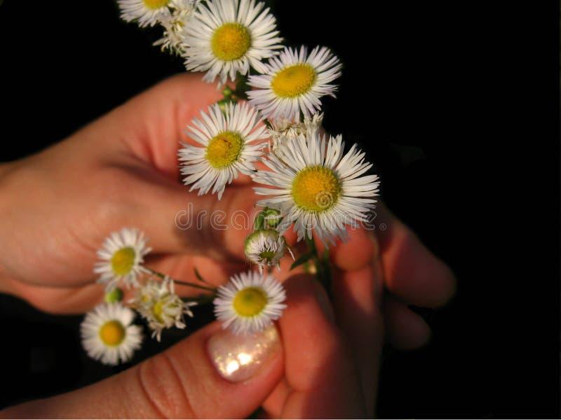 Mani che tengono i piccoli fiori bianchi Oggetto su un fondo nero immagini stock