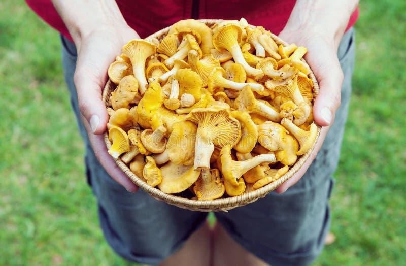 Mani che tengono un canestro con i funghi del galletto fotografia stock libera da diritti
