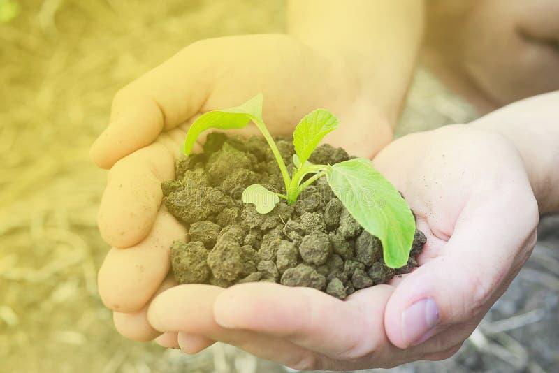 Mani che tengono una piccola pianta verde che cresce nel suolo sano marrone fotografia stock