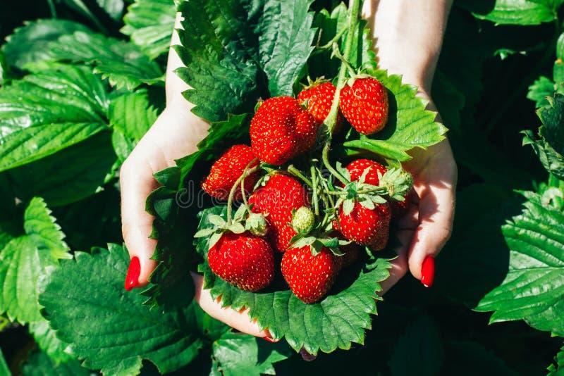 Mani con fragole fresche rosse raccolte in giardino immagini stock