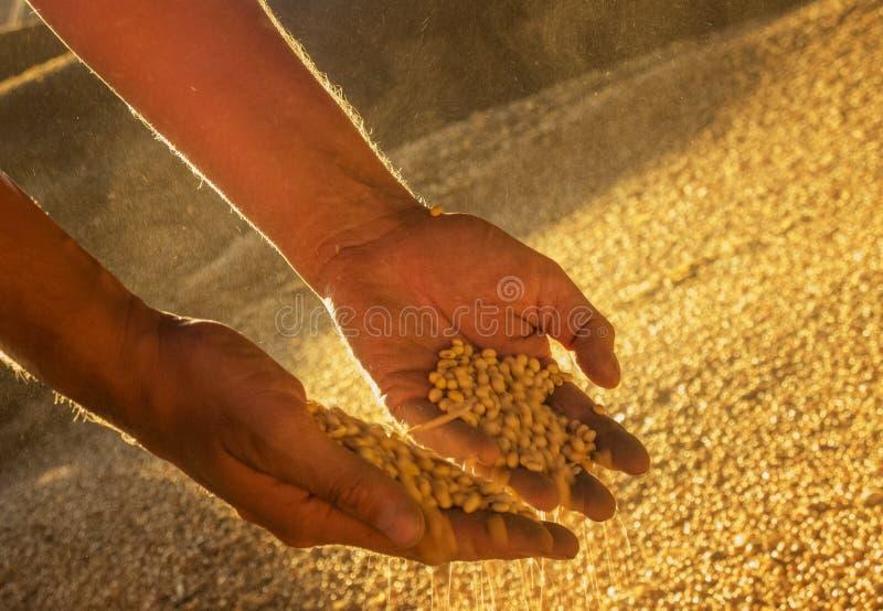 Mani con i semi della soia immagini stock libere da diritti