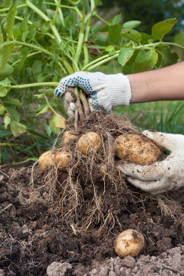 Mani con la patata di scavatura del cespuglio nell'orto immagini stock