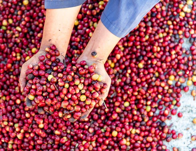 Mani crude rosse fresche dell'agricoltore dell'arabica dei chicchi di caffè delle bacche Agricoltura organica dei chicchi di caf immagini stock libere da diritti