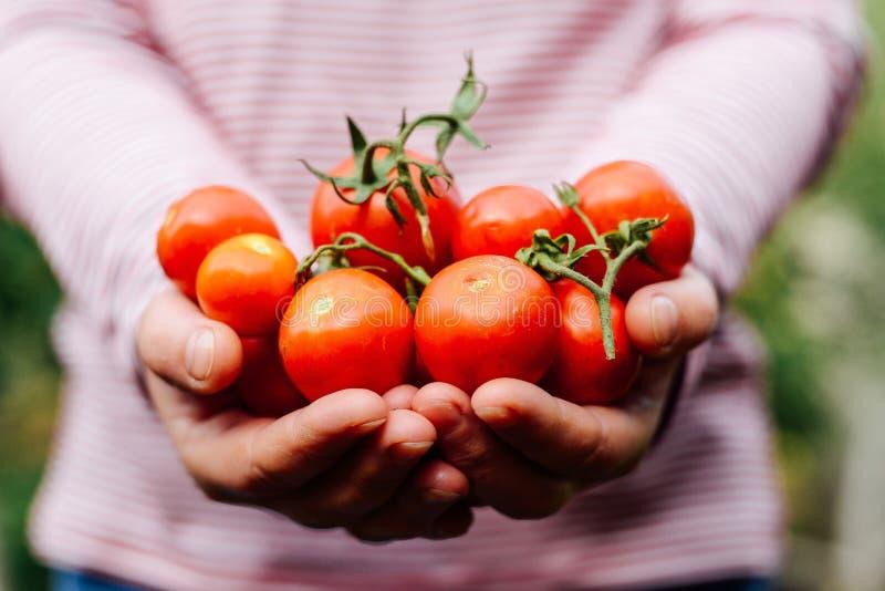 Mani degli agricoltori con i pomodori ed il pepe appena raccolti Freshl immagini stock