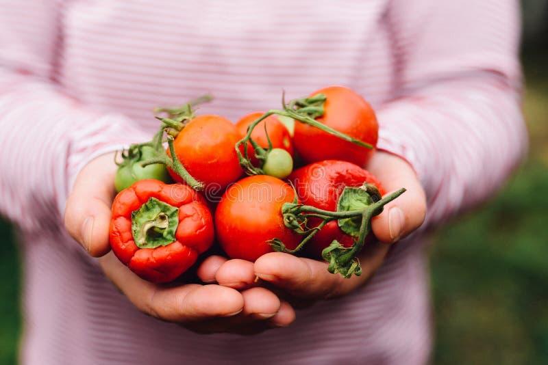 Mani degli agricoltori con i pomodori ed il pepe appena raccolti Freshl fotografia stock libera da diritti