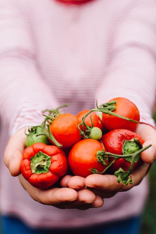 Mani degli agricoltori con i pomodori ed il pepe appena raccolti Freshl fotografie stock libere da diritti