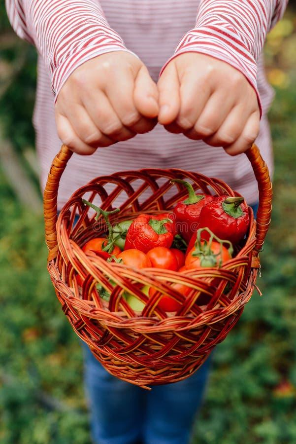 Mani degli agricoltori con i pomodori ed il pepe appena raccolti Freshl immagine stock libera da diritti