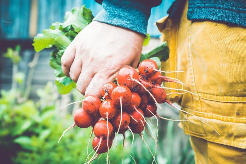 Mani degli agricoltori con il ravanello appena raccolto fotografie stock