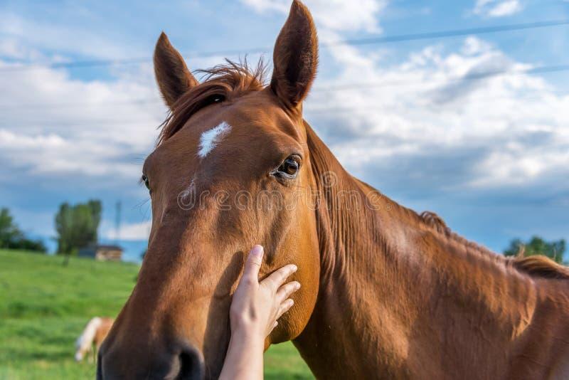 Mani del cavallo commovente della donna immagini stock libere da diritti