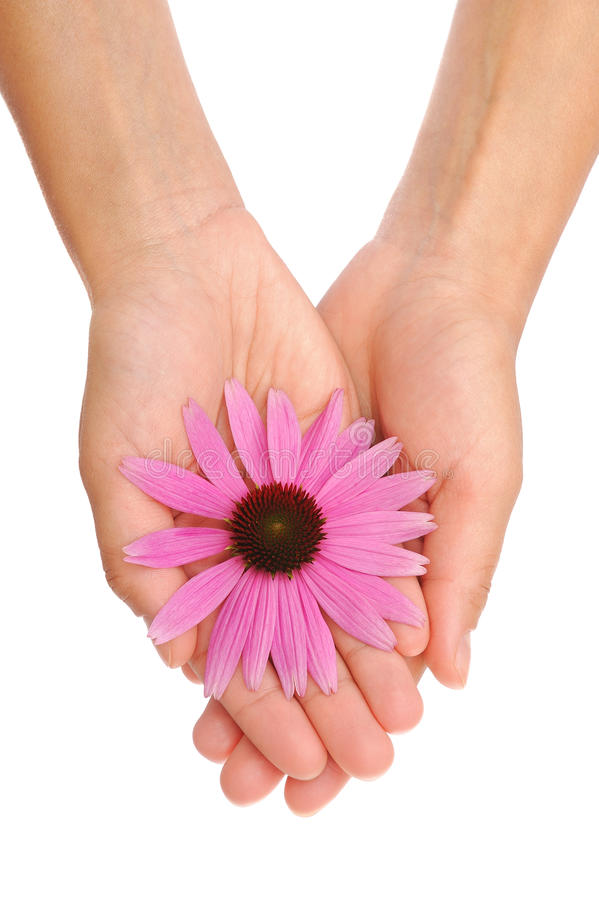 Mani del fiore del Echinacea della holding della giovane donna immagini stock libere da diritti