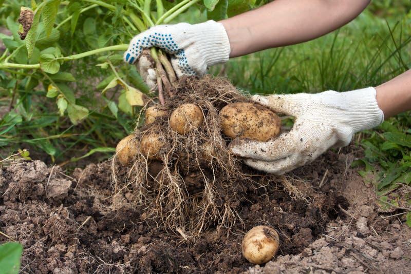 Mani del giardiniere con la patata di scavatura del cespuglio immagine stock