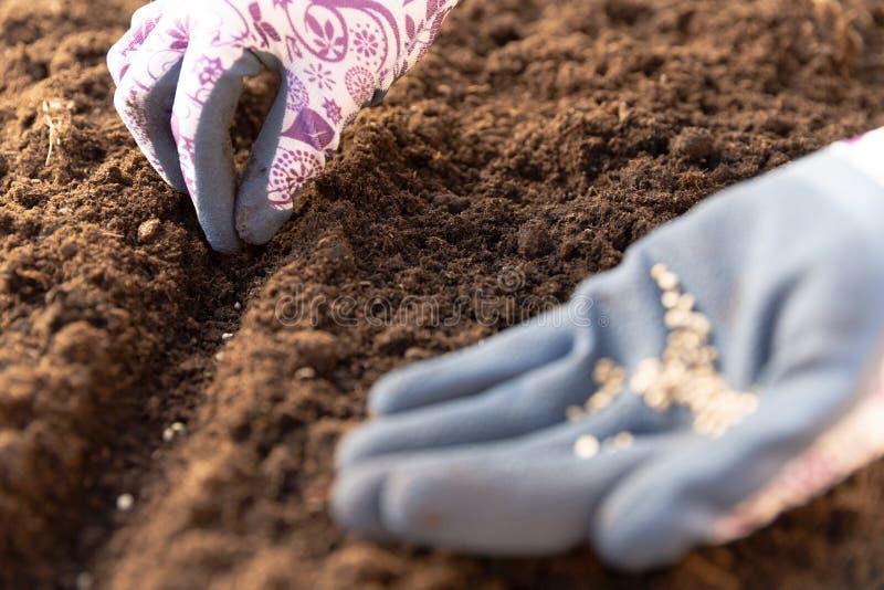 Mani del giardiniere in guanti di giardinaggio che piantano i semi nell'orto Concetto del lavoro del giardino della primavera fotografia stock