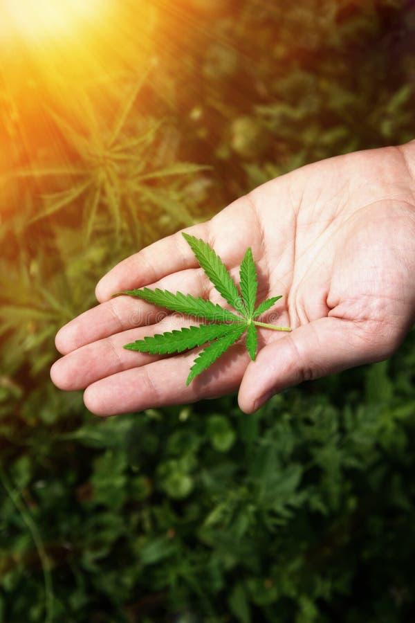 Mani del primo piano dell'uomo che tengono le foglie della pianta della canapa Legalizzazione della cannabis, marijuana, erbe Una immagini stock