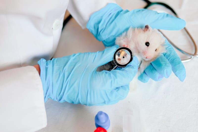 Mani del proprietario che tengono piccolo criceto sveglio Medico professionista del veterinario che diagnostica animale domestico fotografie stock