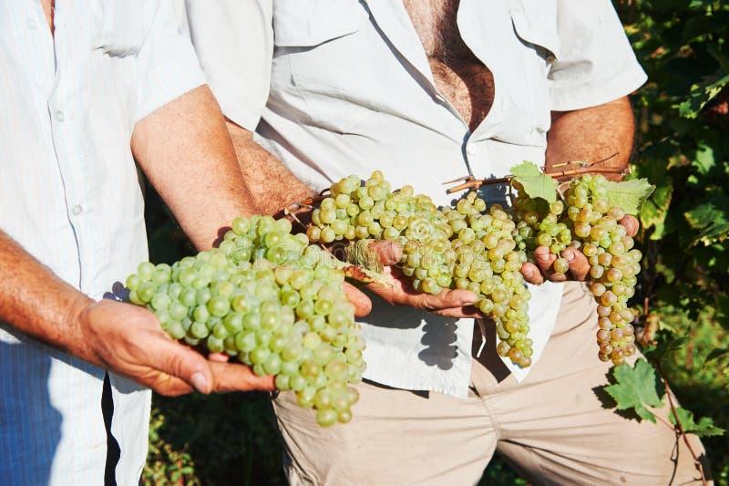 Mani dell'agricoltore con l'uva verde fresca immagini stock libere da diritti