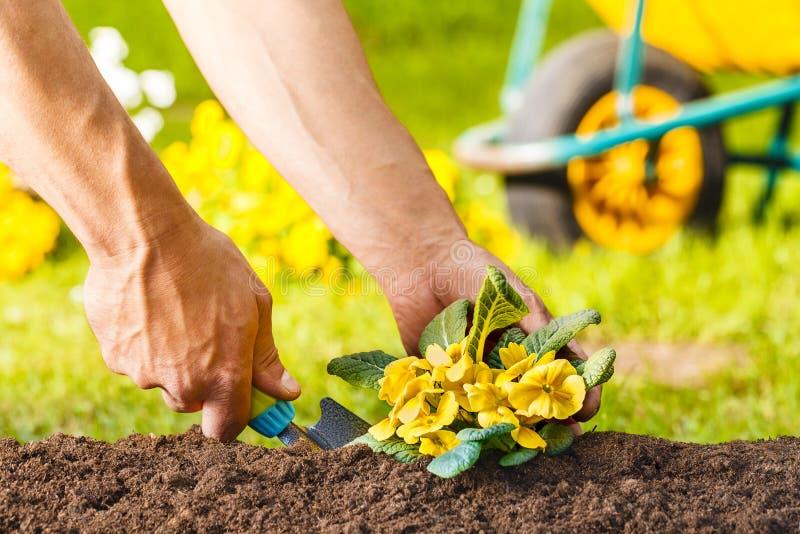 Mani dell'uomo che piantano una pianta gialla dei fiori fotografie stock libere da diritti
