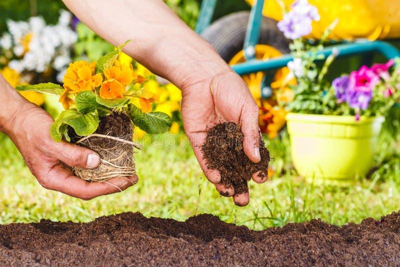 Mani dell'uomo che piantano una pianta gialla dei fiori immagini stock libere da diritti