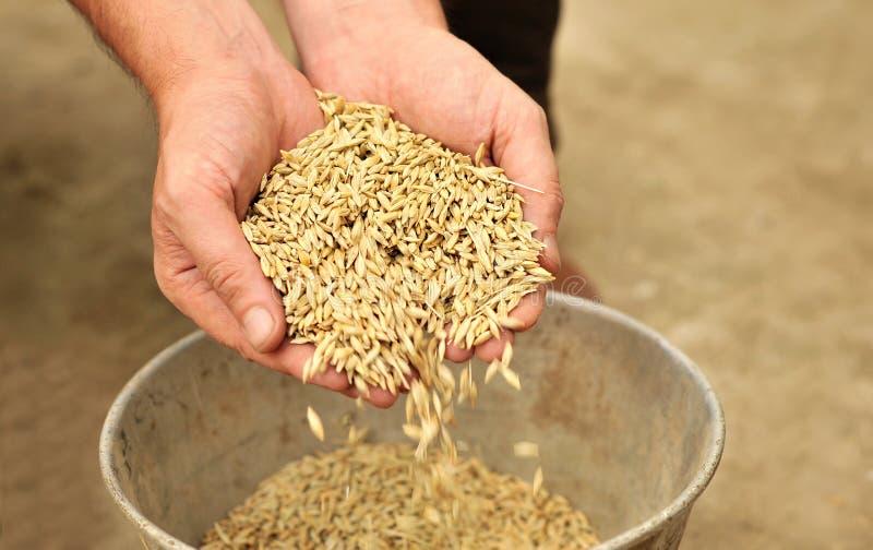 Mani dell'uomo che versano i granuli del frumento fotografia stock libera da diritti