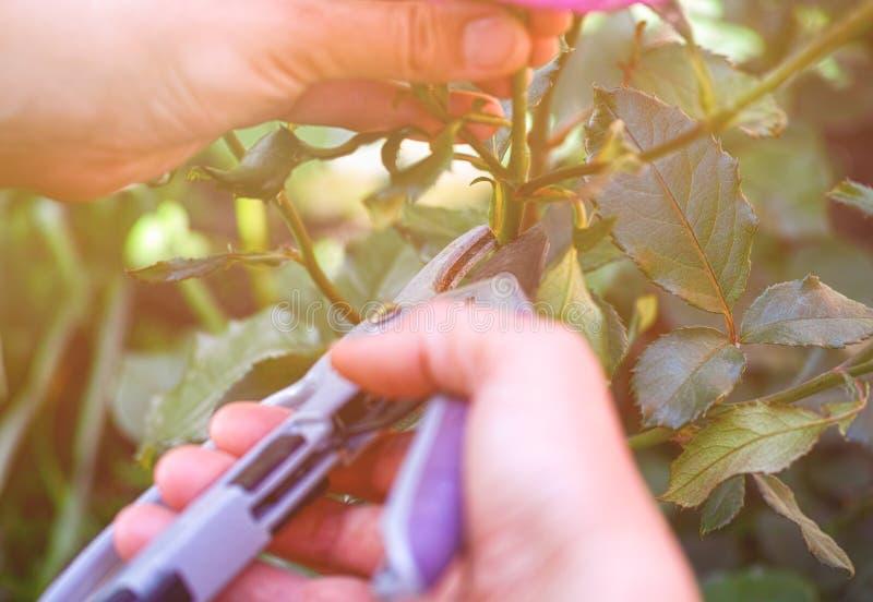 Mani della persona con i tagli di giardinaggio che tagliano cespuglio di rose immagini stock libere da diritti