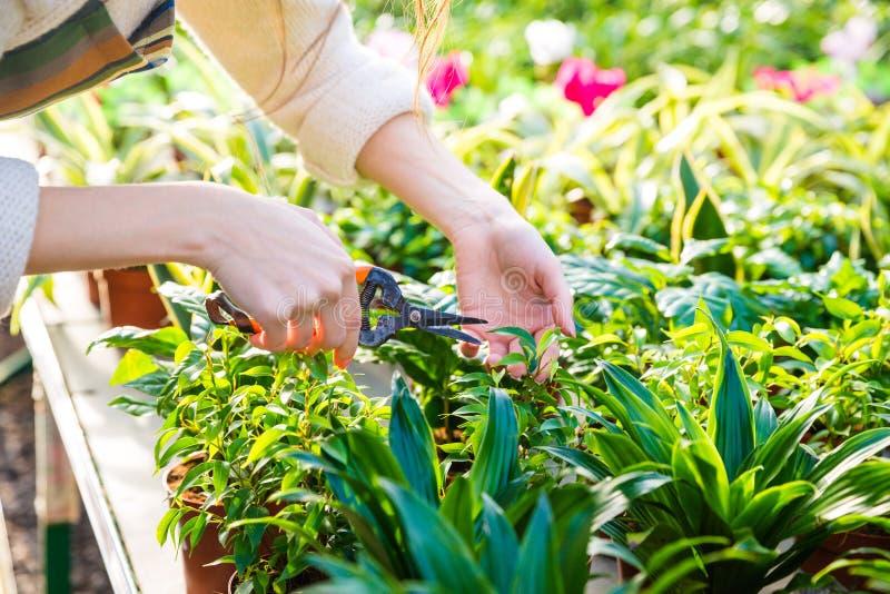 Mani delle piante della guarnizione del giardiniere della donna con i tagli della potatura fotografia stock libera da diritti