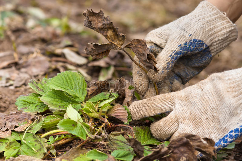 Mani in guanti che rimuovono le vecchie foglie dalla fragola fotografie stock libere da diritti