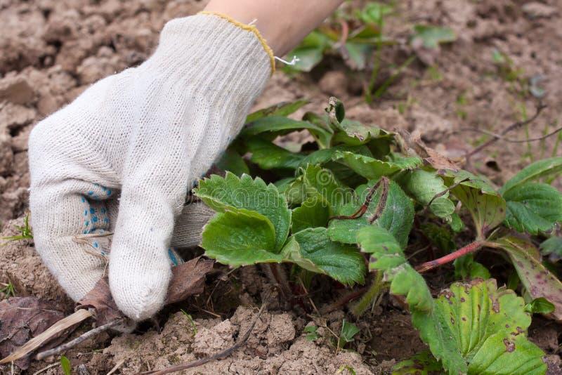 Mani in guanti che rimuovono le vecchie foglie dalle fragole immagine stock