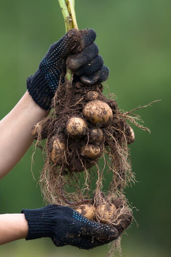 Mani in guanti che tengono la patata di scavatura del cespuglio immagini stock