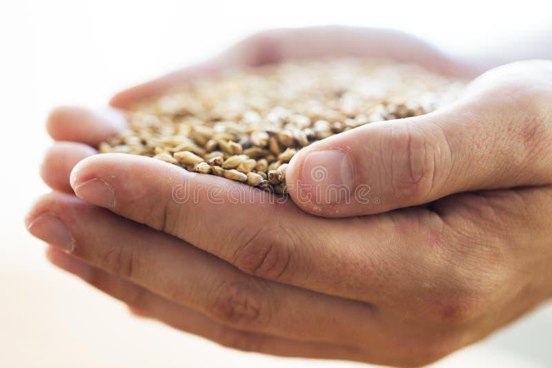 Mani maschii degli agricoltori che tengono malto o i chicchi di grano immagini stock
