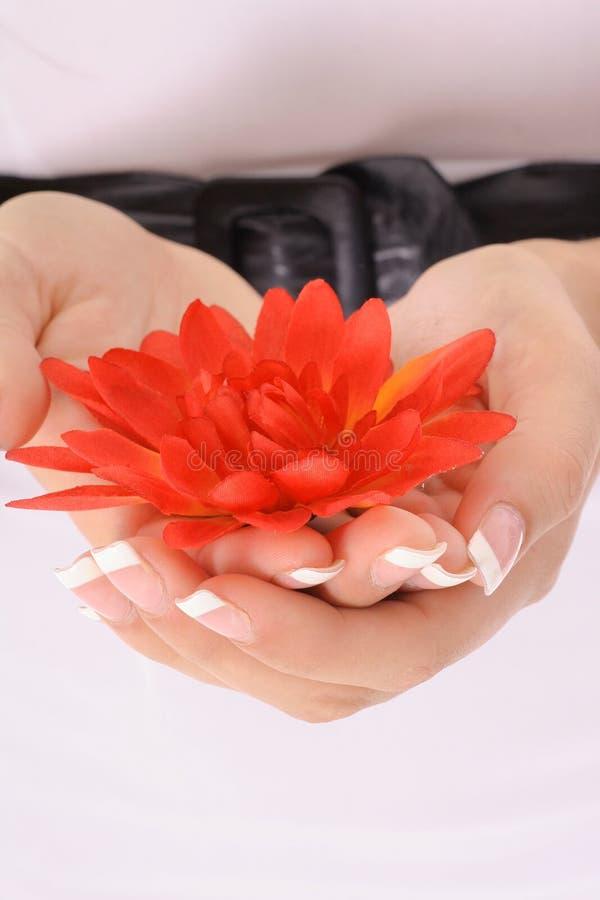 Mani in modo bello manicured che tengono un vert dei fiori fotografia stock libera da diritti