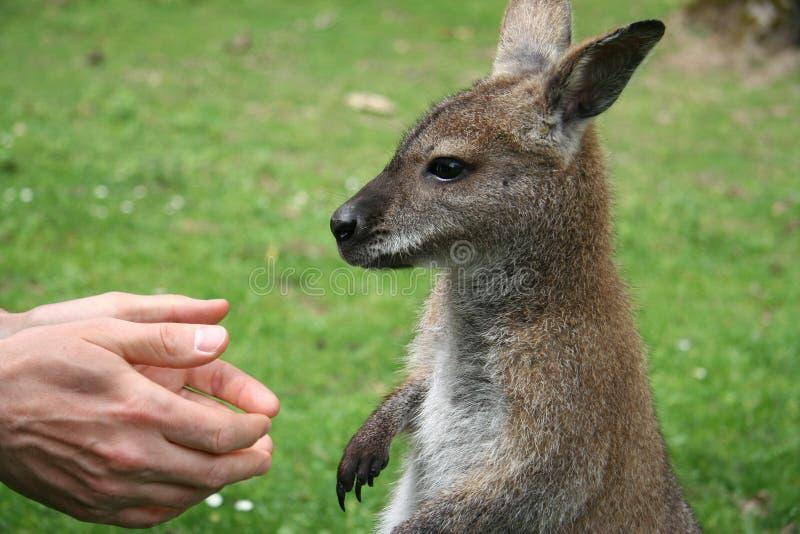 Mani umane e un piccolo canguro fotografia stock