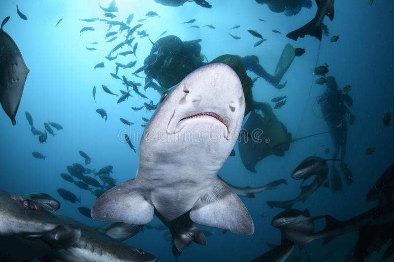 Mania furiosa d'alimentazione delle scuole dello squalo legato del segugio in acque blu del Giappone fotografia stock