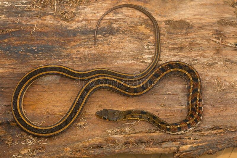 Maniak paskujący keelback wąż, Amphiesma stolata od Kaas plateau fotografia royalty free