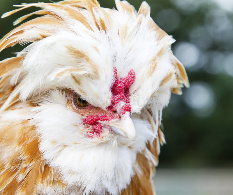 Maniak Zasznurowywający Polski kurczak zdjęcie royalty free