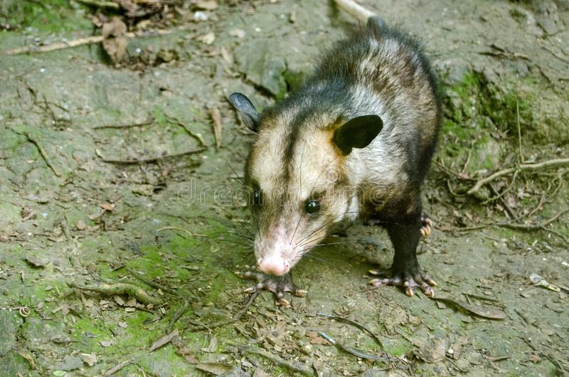 Manicou / Opossum, Tobago. A wild manicou hunting on the forest floor in Tobago. Other names for the mammal include opossum and didelphimorphia. The creature is royalty free stock images