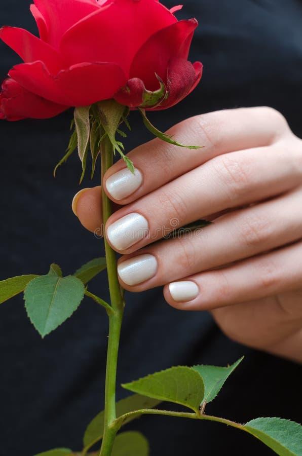 Manicura blanca Mano femenina que sostiene la rosa del rojo fotografía de archivo libre de regalías